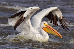 Pelican on the Mississippi River